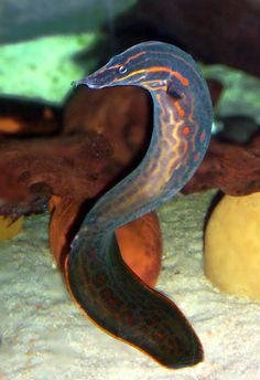 1000 images about eels on pinterest eilat red sea and for Eel fish tank