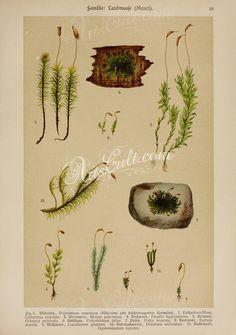 polytrichum commune, catharinea undulata, mnium punctatum, funaria hygrometrica, grimmia pulvinata, orthotrichum fallax, pottia truncata, barbula muralis, leucobryum glaucum, dicra   ...