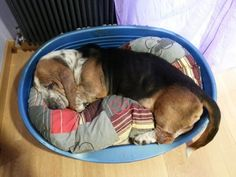 E che non te la fai una pennichella pomeridiana? #Bassethound Plastic Laundry Basket, Dogs, Animals, Decor, Animales, Decoration, Animaux, Pet Dogs, Doggies