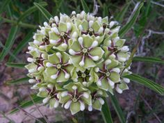 pretty wild things that bloom in Texas in April: Asclepias asperula (Spider milkweed)