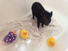 Rubba Dub Dub...Pig's in the tub. -A Mini Pig at home (blog)