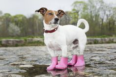 The snow is on its way! Better get some booties... | dogs | cute pets | Colorado | winter | snow | dog products | booties