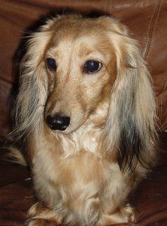 Chelsea girl...what a pretty dachshund!
