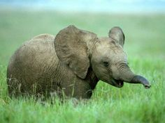 elephant wallpaper background picture of cute african baby elephant Elephant Pictures, Baby Animals Pictures, Cute Baby Animals, Baby Pictures, Animals And Pets, Wild Animals, Jungle Animals, Animals Kissing, Newborn Animals