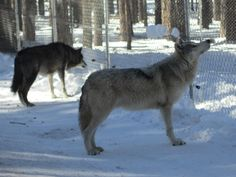 Wolves waiting for lunch. Dec 2014