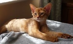 Cool Stuff Directory: The 20 Cutest Cat Breeds on the Internet