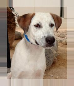 Ollie is an adoptable Saint Bernard, Labrador Retriever Dog in Las Vegas, NV Hello there! I'm Ollie- a very sweet and playful 1 1/2 year old guy. I love everyone I meet and ... ...Read more about me on @petfinder.com
