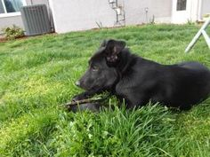 Izzy is an adoptable Shepherd Dog in Louisburg, KS. Izzy is a 5 month old shepard /lab mix female.  Neutered, shots, and house trained.  She is sweet, playful, good with other dogs, cats, kids (even y...