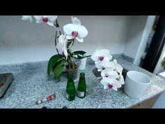 Orkide çiçek açmıyor? Çiçek açması, Dal vermesi için ne yapmalıyız? - YouTube