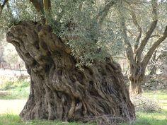 Big fat Mamma olive tree, island of Lesvos, Greece