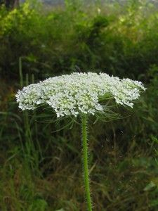 Missouri wildflowers: One of my favorites - Queen Anne's Lace - Daucus carota