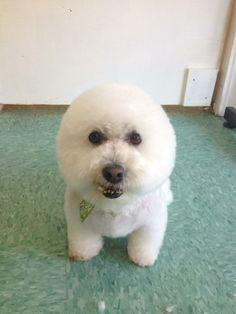 Buddy the Bichon! groomed by Jenn