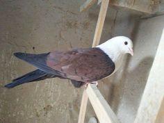 Pigeon Cage, Pet Pigeon, Pigeon Loft, Dove Pigeon, Love Birds, Beautiful Birds, Fantail Pigeon, Pigeon Pictures, Create An Animal