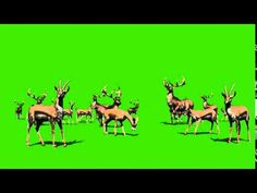 Green Screen Herd of Gazelles Savannah - Footage Sohail Visual Effects Green Background Video, Green Screen Video Backgrounds, New Background Images, Cute Girl Hd Wallpaper, Beautiful Nature Wallpaper, Flower Wallpaper, Download Wallpapers For Pc, Horse Animation, Green Screen Footage