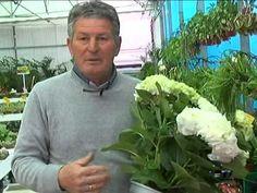 El jardinero en casa - Hortensias - YouTube