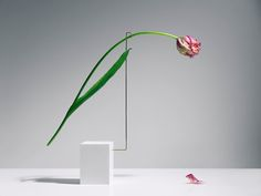 Stockholm-based conceptual photographer Carl Kleiner's video series 'Postures' features artfully arranged dying tulips that move in a delicate and melancholic fashion. Elegant Flowers, Beautiful Flowers, Exotic Flowers, Purple Flowers, Sogetsu Ikebana, Japanese Flowers, Arte Floral, Deco Design, Amazing Photography