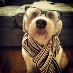 My Wheaten Riley as a hipster dog
