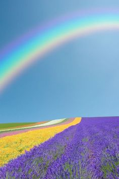 Gorgeous shot of a rainbow over fields of lavender and rows of flowers.