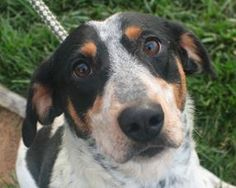 This beautiful Coonhound is Holly. She's a little over 2 years old and available for adoption from Wayside Waifs in Kansas City. Here's...
