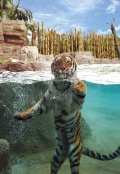 Busch Gardens Tampa Zoo Insider Tip: Tigers at Jungala List Of Animals, Animals And Pets, Funny Animals, Cute Animals, Wild Animals, Tampa Zoo, Tampa Florida, Beautiful Cats, Animals Beautiful