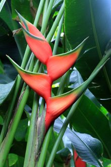 Heliconia bihai 'Hong Kong Claw' - Grows 2.5-3m high, prefers well-drained rich soil, full sun to 30% shade, flowers twice yearly