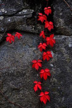 "krishna1timsina: "" The Elegance of Red… by zeynepkvlc """