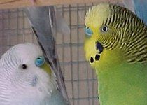 Two Male Budgie Parakeets