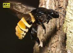 """""""Enquanto a formiga trabalha a cigarra canta""""... Esse ditado se encaixa perfeitamente em outro reino animal: o das abelhas!  Os zangões nascem aos 24 dias, vivem em média 80 e não trabalham porque não tem apêndices para o trabalho! Ou seja: só comem e fecundam! Vida boa, não? #vidadezangão"""