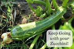 growing great zucchini