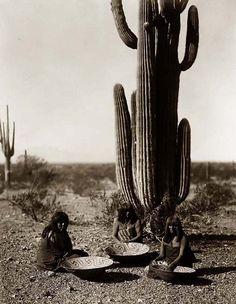 Maricopa Saguaro Gatherers 1907