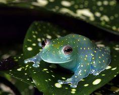 South America's Fringe-limbed Tree Frog (Cochranella euknemos).