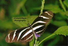 Butterfly in the Butterfly Palace in Branson Mo I love the Palace can't wait till I can go again. photo by Rachael Irvine, Irvine's Place Photography