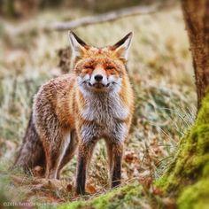 Red Fox by Bert van Beek on 500px