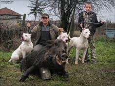 #Dogo Argentino I don't hunt dogos, a friend does.... trying to break one is a dang job...!#