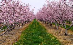 цветущий сад персика