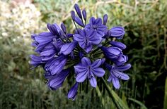 African lily 'Purple Cloud'