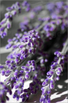 Close look at the LAVENDERs