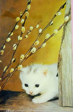 Beau petit chat. Pearl Necklace, Pearls, Vintage, Jewelry, Midget Cat, Dog, Wild Animals, Beauty, Cards