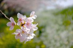 sakura #sakura