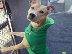 SAFE - 02/21/15 by Ruff Dog Rescue NE --- TO BE DESTROYED - 02/15/15 Manhattan Center   My name is BROCKPORT. My Animal ID # is A1027230. I am a male brown american staff mix. The shelter thinks I am about 1 YEAR 6 MONTHS old.  I came in the shelter as a STRAY on 02/05/2015 from NY 10457, owner surrender reason stated was STRAY.  https://www.facebook.com/photo.php?fbid=961672177178995