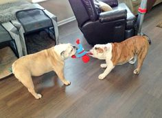 Blue II tries to show Trip who's boss in tug of war.