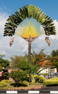 Traveller's Tree - Ravenala madagascariensis - This species of plant from Madagascar, of the family Strelitziaceae, is not a true palm. It is closely related to the southern African genus Strelitzia and the South American genus Phenakospermum. Its fans tend to grow in a north-south line, creating a crude compass