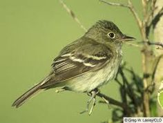 acadian flycatcher - Google Search