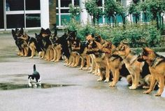Cool cat walking in front of german shepherds, like a boss ... Vermutlich eine Hunde-Schulung!
