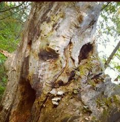 Faces in trees Page 19 Arbtalk co uk Discussion Forum is part of Tree - Weird Trees, Enchanted Tree, Twisted Tree, Tree People, Tree Faces, Tree Carving, Old Trees, Unique Trees, Tree Sculpture
