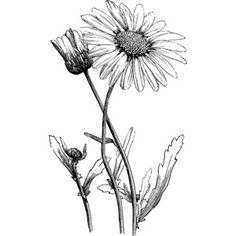 Simple gerbera daisy drawing