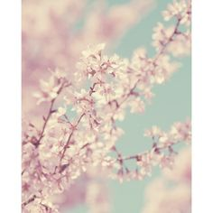 Spring Cherry Blossom Pale Pink Vintage Floral Photo French Decor... ❤ liked on Polyvore featuring backgrounds, pictures, flowers, photos and art