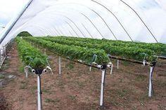 capsuni Fruit Trees, Garden Inspiration, Grape Vines, Solar, Cottage, Green, Gardening, Mai, Aquaponics