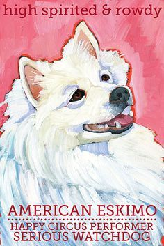 American Eskimo Dog Colorful