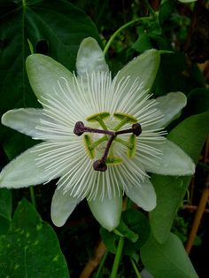 Passsionflower 'White Queen' Passiflora